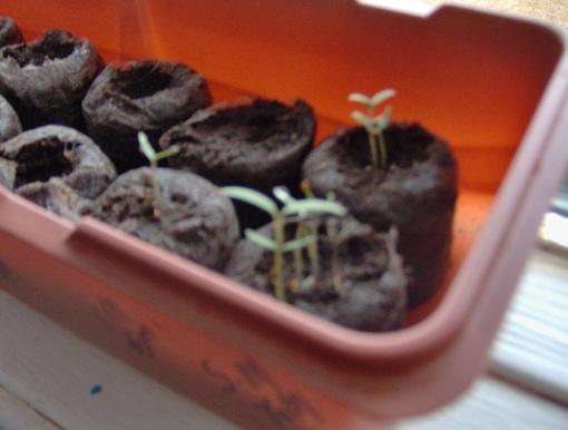 Some Beefsteak Tomato Plants